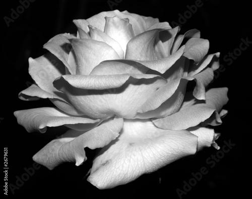 Fototapety, obrazy: rose