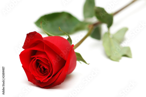 Photo  red rose isolated on the white background