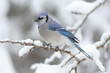 blue jay -cyanocitta cristata