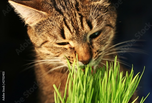 cat eathing grass #2702403