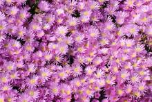 Pink Mesembryanthemum