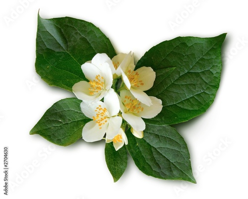 mock-orange (philadelphus) Wallpaper Mural