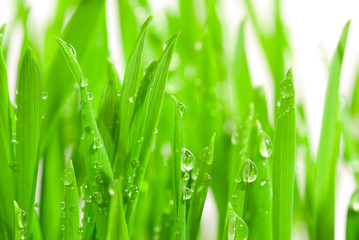 Obraz na Plexi fresh grass with dew drops