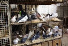 Pigeons In Cage