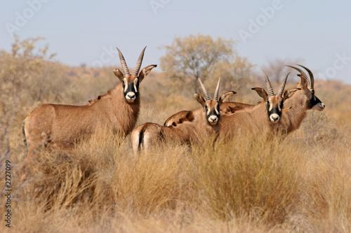 Poster Antilope roan antelopes