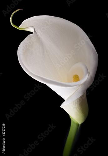 Fotografie, Obraz  elegant white calla