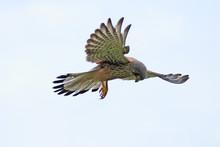 Wild Kestrel Hovering