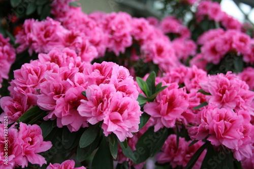 Tuinposter Azalea azalea rhododendron