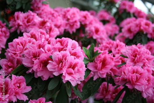 Stickers pour porte Azalea azalea rhododendron