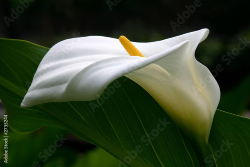 Photo white calla lily profile with dark green foliage background
