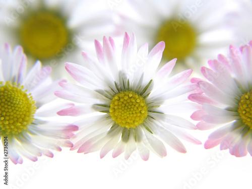 Fotobehang Macro white spring daisies
