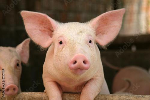 Foto cute pig