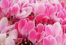 Pink Cyclamen En Masse