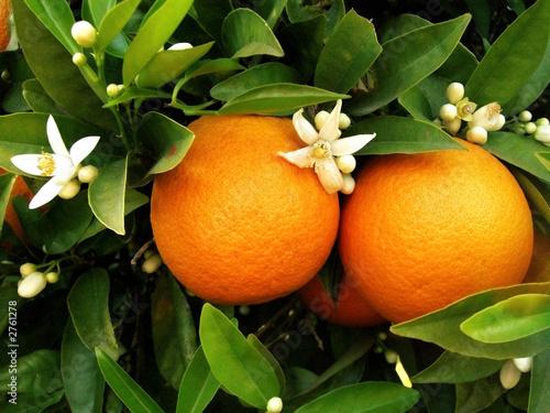 Fényképezés duas laranjas na laranjeira