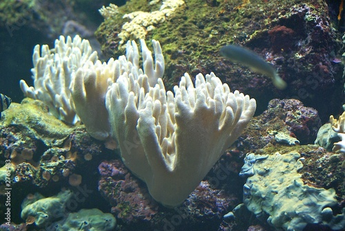white coral on coral reef with moving fish