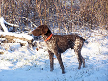 Pointer / Hunting Dog In Snow