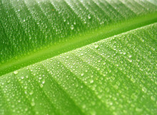 Rain Drops On Banana Leaf