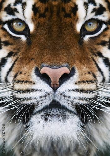 a tiger #2778061