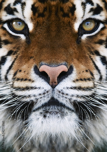 Foto auf AluDibond Tiger a tiger