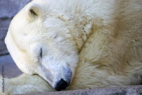 polar bear napping