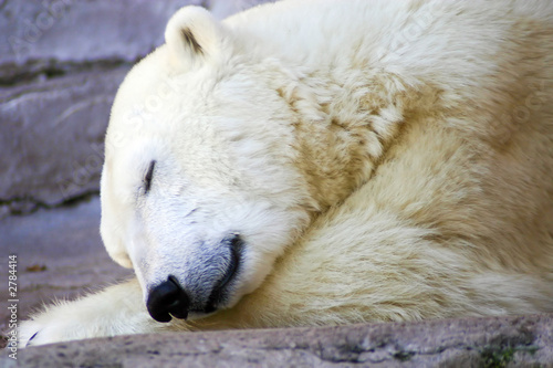 In de dag Ijsbeer polar bear napping