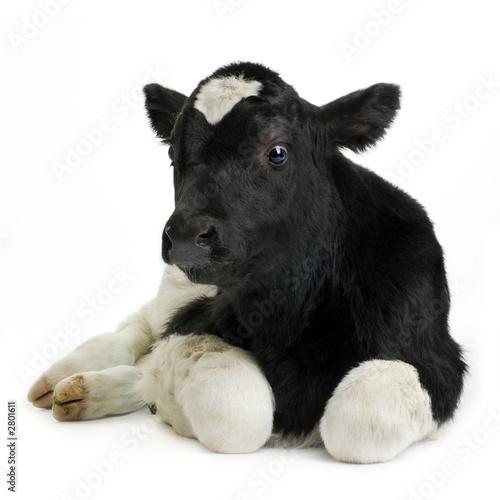 Poster de jardin Vache veau