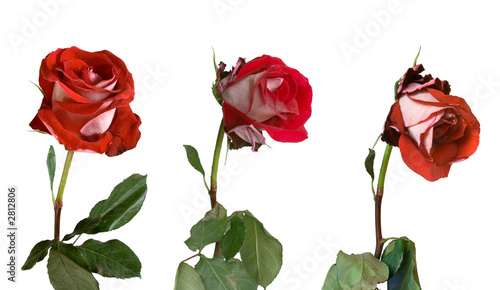 Valokuva  three stages of withering of a rose