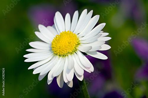 Fleur Paquerette Marguerite Nature Ecologie Buy This Stock Photo