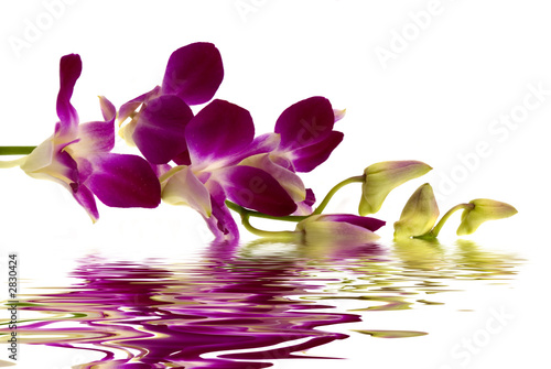fioletowa-orchidea
