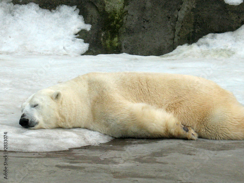 Photo sleeping polar bear