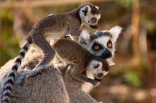 A Goup Of Cute Ring-tailed Lem...