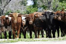 Bull Market - Line Of Bulls