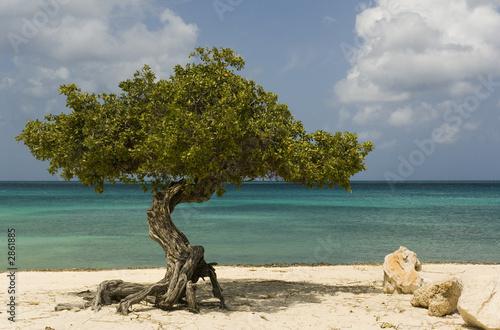 Photo  dividivi tree