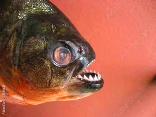 Valokuva  piranha cajú,  amazonas - brasil