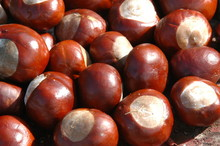 Group Of Conkers