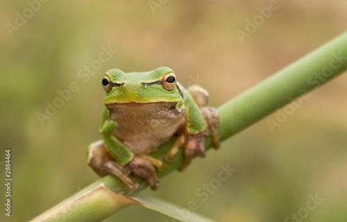 Tuinposter Kikker stare of tree frog