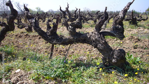 Fotografie, Obraz  cep de vigne