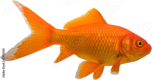 Tablou Canvas goldfish