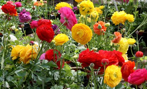 Fotografia ranunculus flowers 3