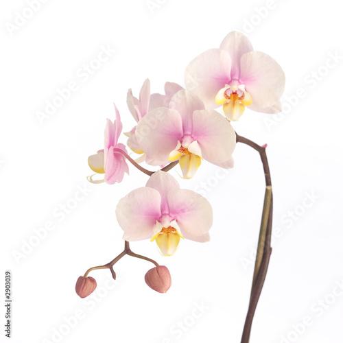 Naklejki kwiaty miekka-rozowa-orchidea