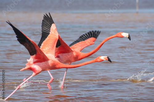 Photo sur Toile Flamingo flamants roses