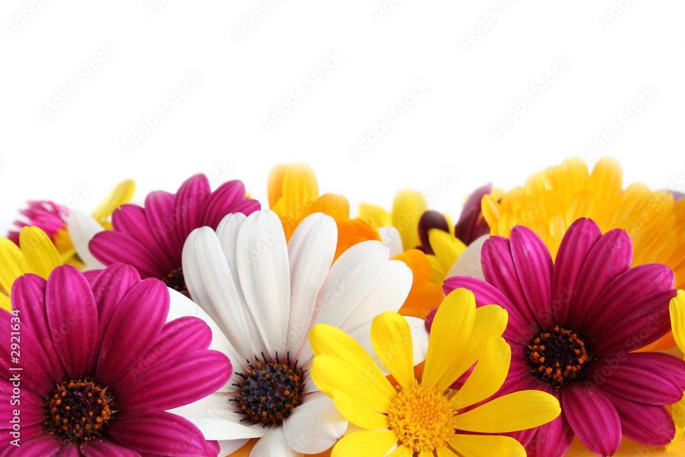 Fototapety, obrazy: spring daisy border