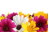 Fototapeta Kwiaty - spring daisy border