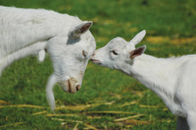Mother And Child Goat