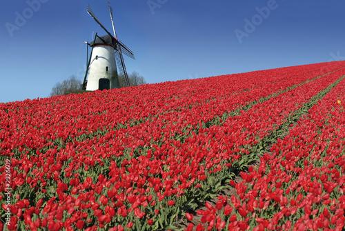 Plakat holenderski młyn i czerwone tulipany