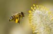 Leinwandbild Motiv bee collecting pollen