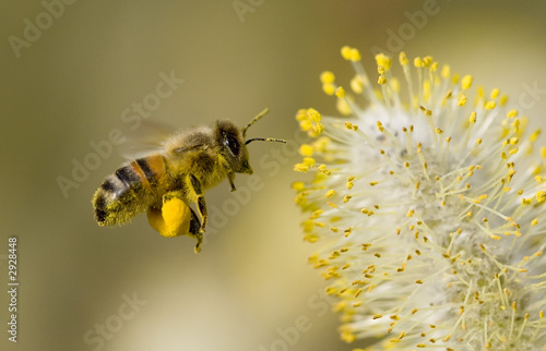 Photo  bee collecting pollen
