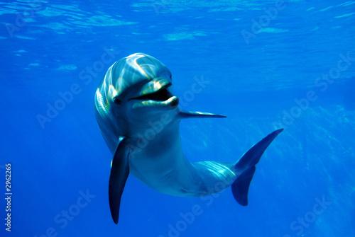 Fotografie, Obraz  delfín