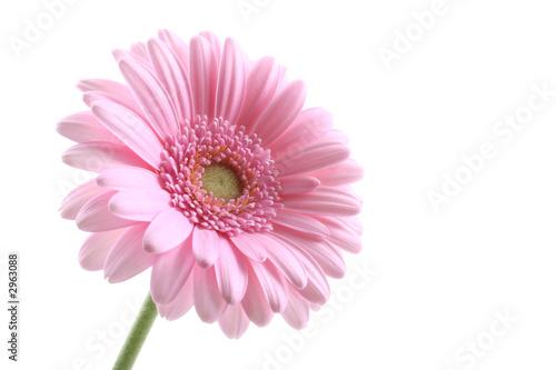 Poster Gerbera pink