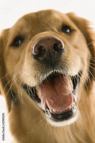 Spoed Foto op Canvas Hond Close up of Golden Retriever dog.